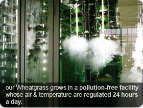 Wheatgrass Grow Indoor in a Pollution Free