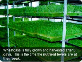 Wheatgrass Fully Grown in 8 Days