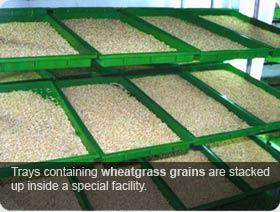 Wheatgrass Seeds & Grains