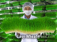 Easy Fresh Wheatgrass