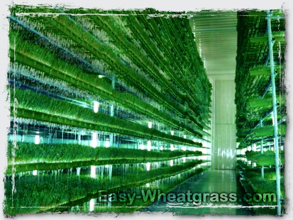 Wheatgrass Grow Indoor