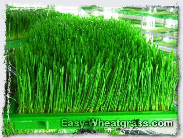 Fresh Wheatgrass Growing