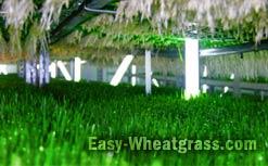 Wheatgrass Nutrition