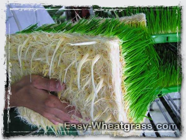 Wheatgrass Root Nutrition