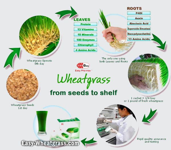 Wheatgrass From Growing From Seeds to Shelf